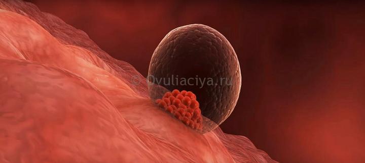 Во время имплантации эмбриона в матку возможно (но не обязательно) резкое падение температуры на 0,2-0,4 градуса. На следующий день БТ вновь поднимется