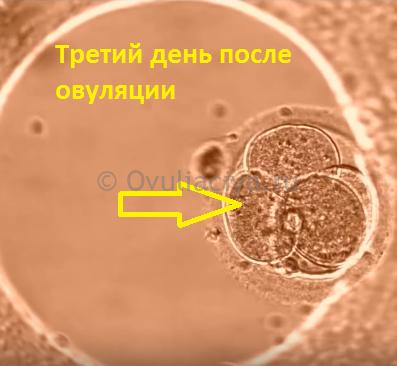 на 3 день после овуляции оплодотворенная клетка раздробилась на 4 клетки